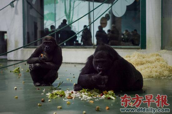在上海动物园大猩猩馆