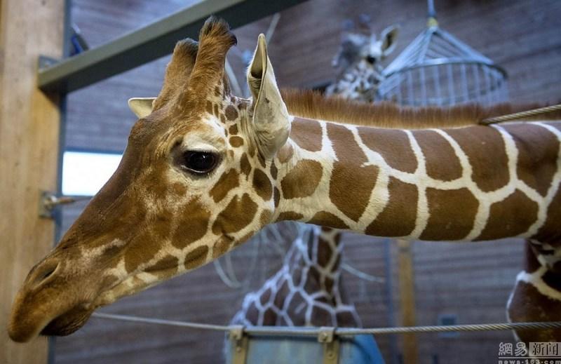 丹麦动物园处死近亲繁殖长颈鹿喂狮子【3】