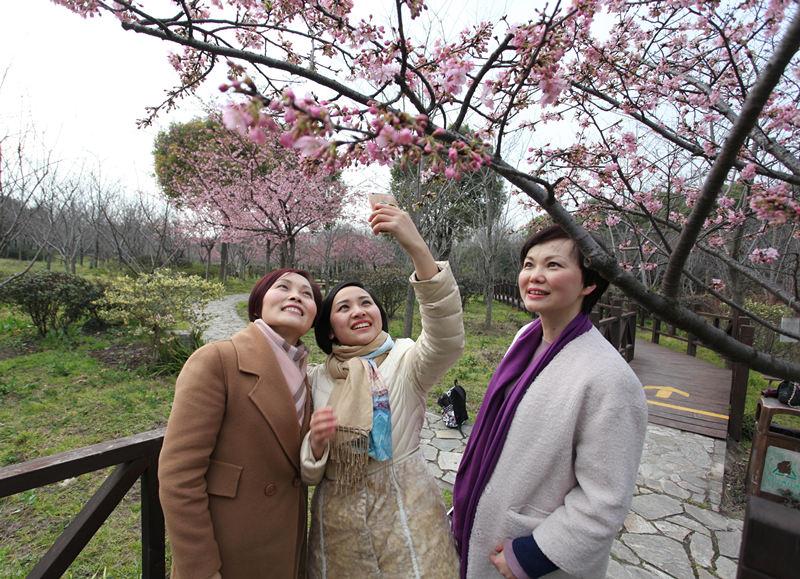 第七届上海樱花节3月15日开幕 早樱已进盛花期