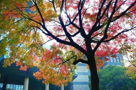 枫叶红了银杏黄了 沪29条道路将开始保留落叶