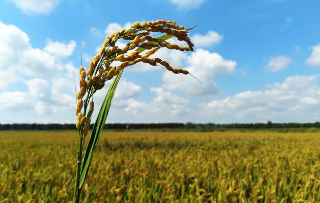 沪上首批不用化肥和化学农药的大米在崇明开售