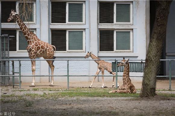 上海动物园长颈鹿家族连生两娃你