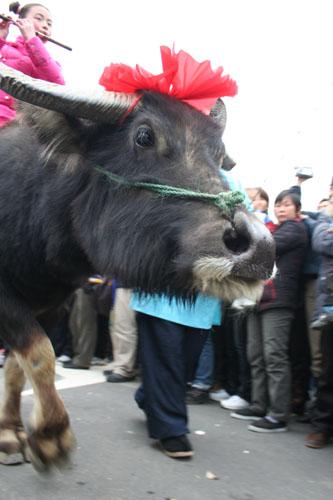 几十头头戴大红花的牛