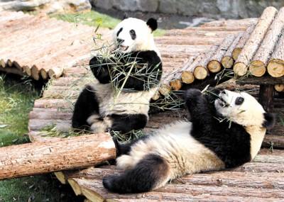 """""""世博大熊猫""""已适应了在上海动物园的生活"""