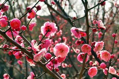 五朵花瓣的梅花剪纸步骤图